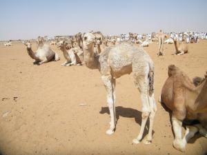 A calf at Souq al-MuweliH.