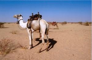 Camels in Dar Kababish